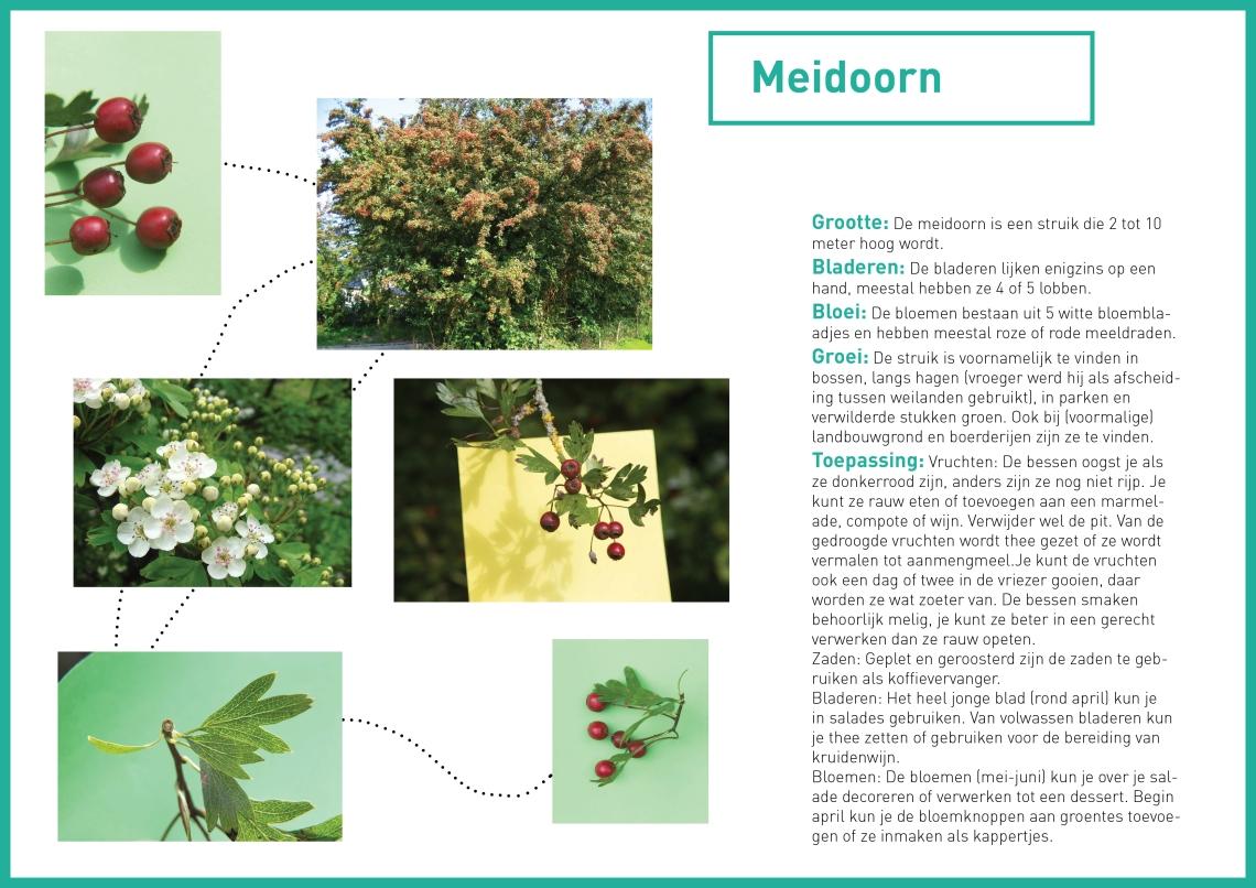 meidoorn-wildplukken-groene-avonturen