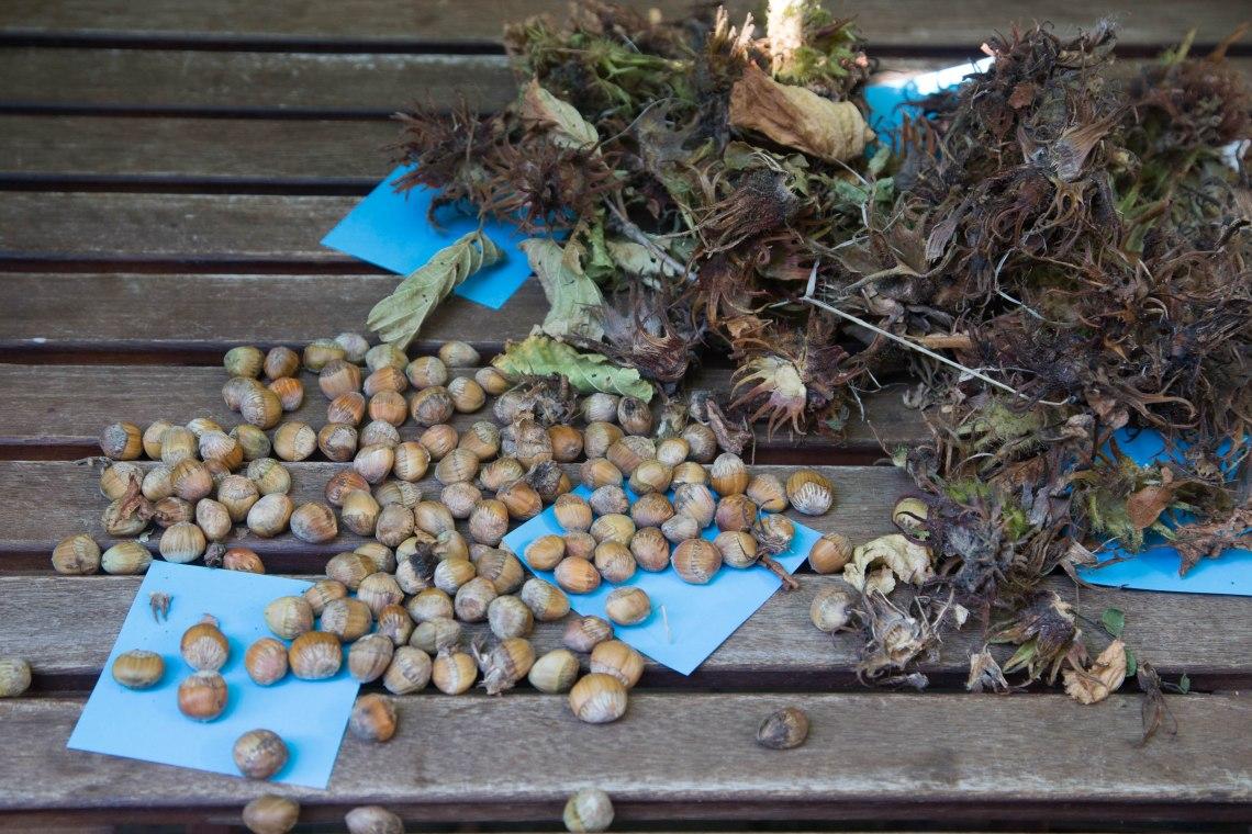 wildplukken-hazelnoten-groene-avonturen-2